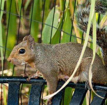 Squirrel in Piedmont Park