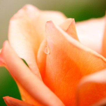 peach rose at sunrise