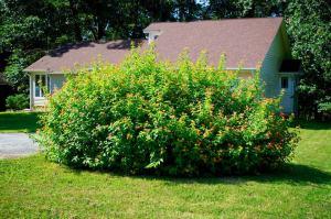 huge lantana bush