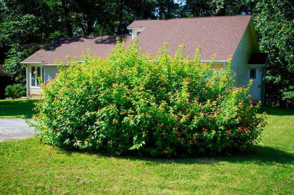 huge butterfly bush