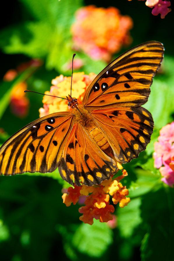Orange Butterfly Seven