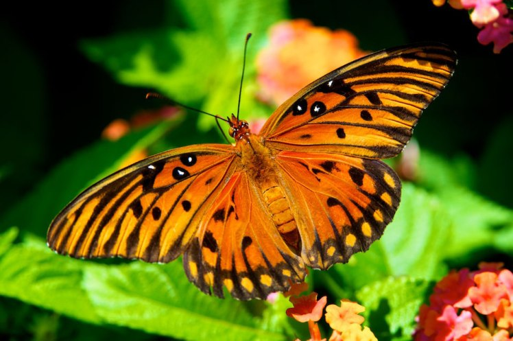 Orange Butterfly Eight