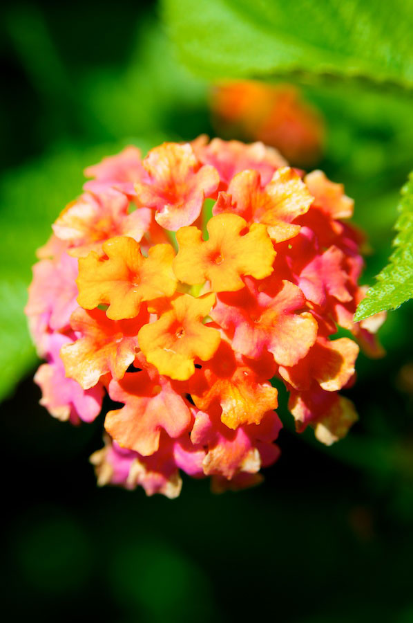 Lantana Bush Bloom Cluster
