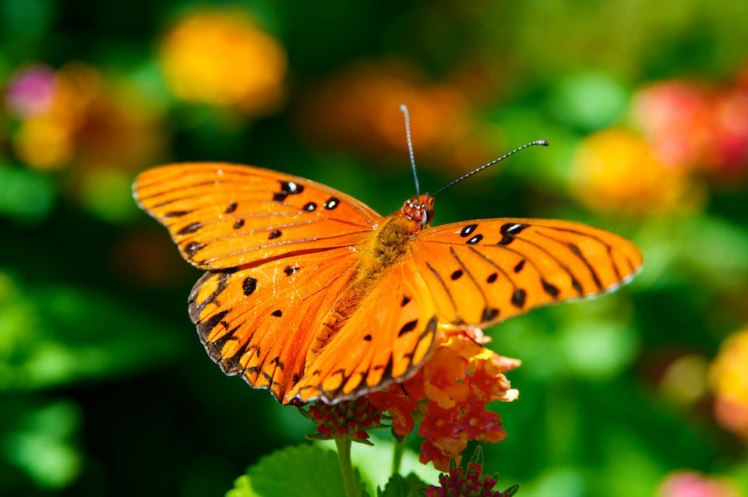Orange Butterfly Two